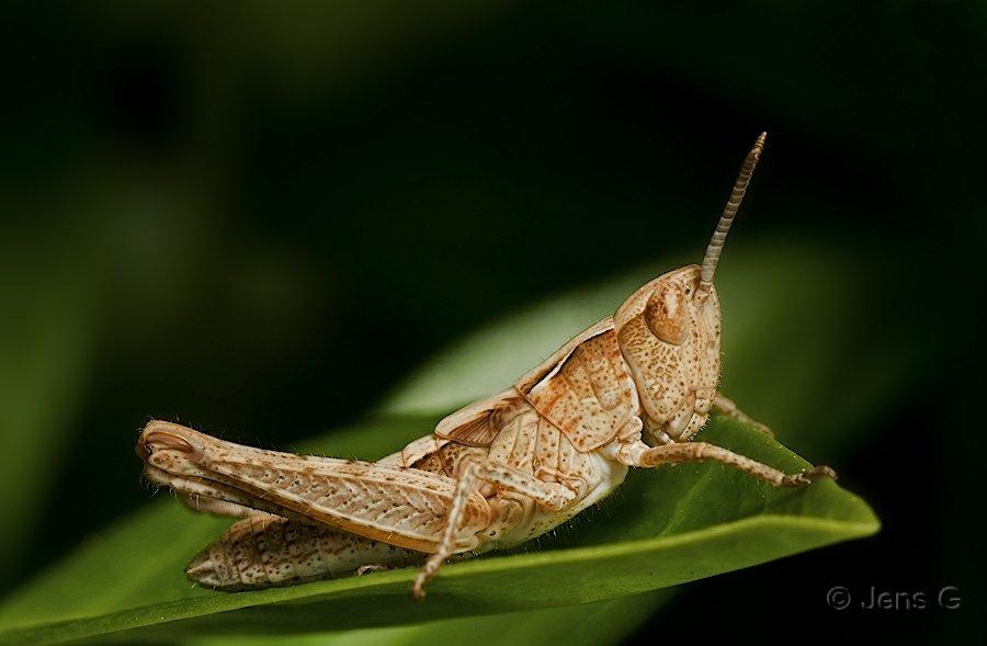 Græshoppe fra siden