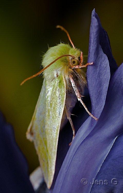 Uglen Olsen på Irisblomst