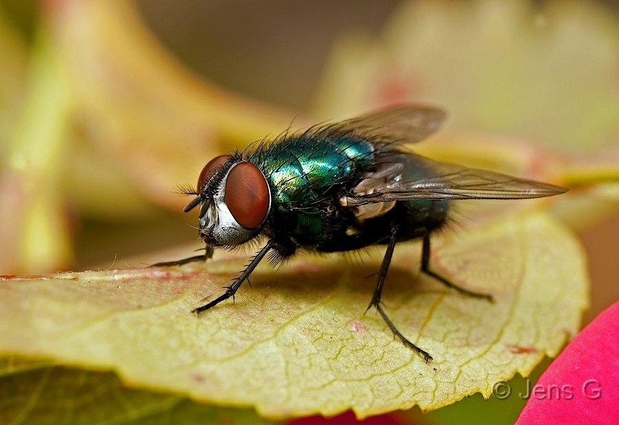 Grøn Flue
