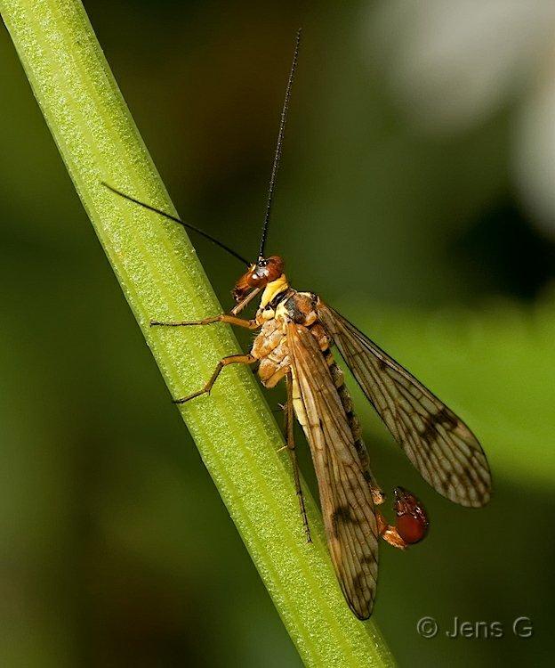 Skorpionflue han
