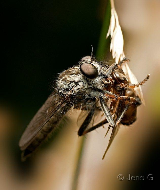 Rovflue med bytte