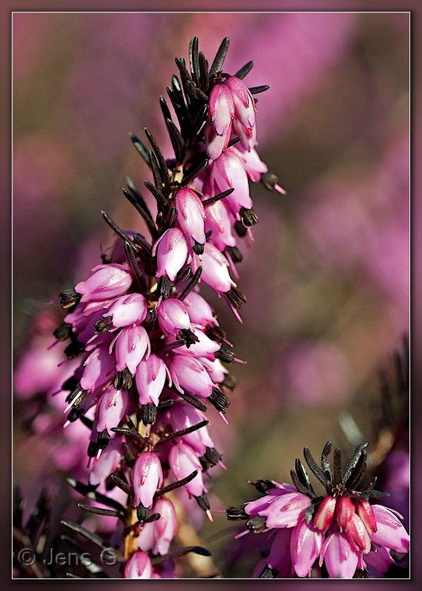 Blomstrende Lyng