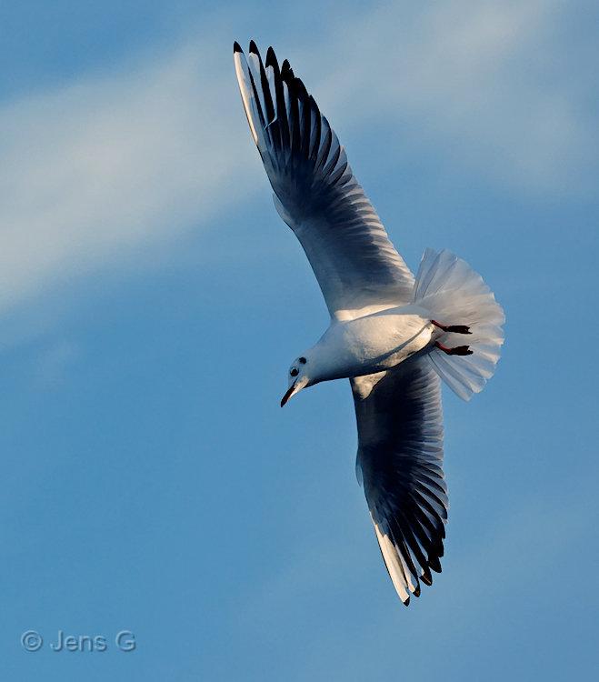 Måge i luften
