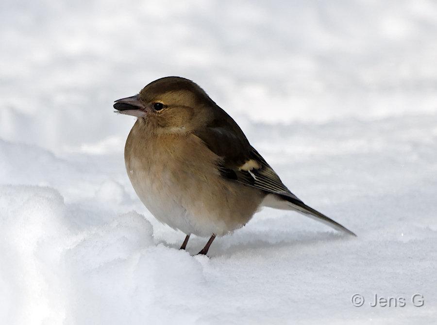 Bogfinke hun i sne