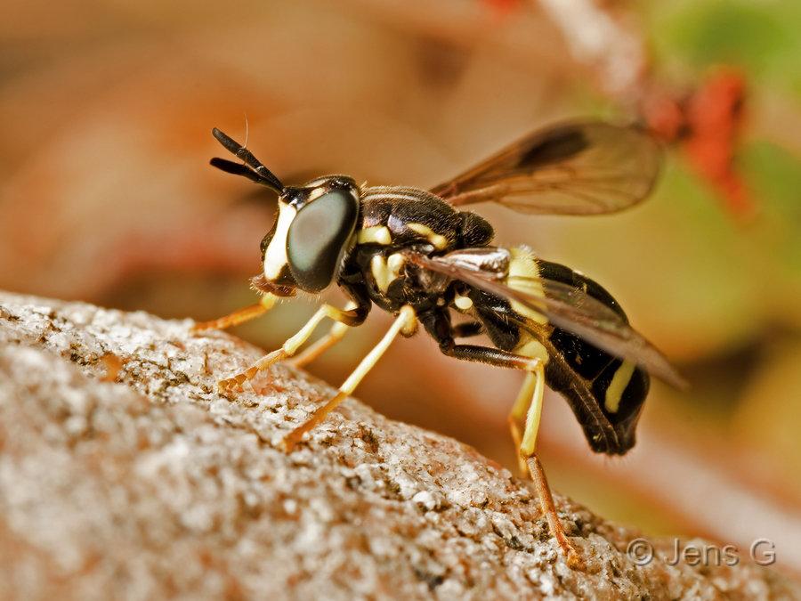 Hvepsesvirreflue