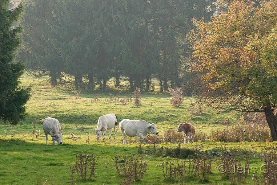 Køer på engen