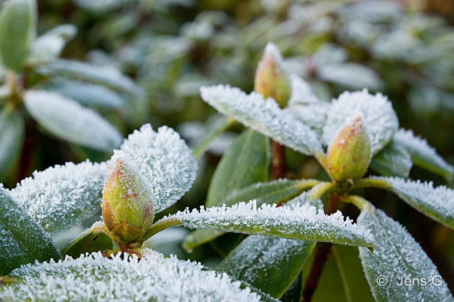 Rhododendron med rim på blade og knopper