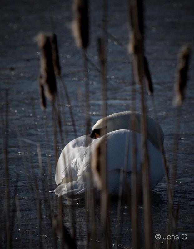 Knopsvane der sover frossen sø