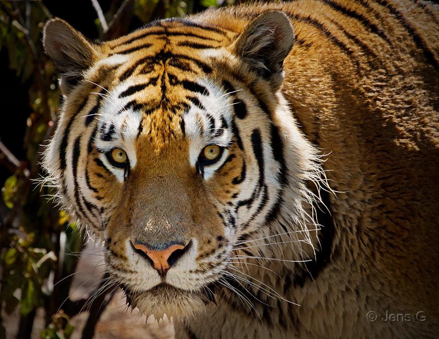 Tiger i Zoo
