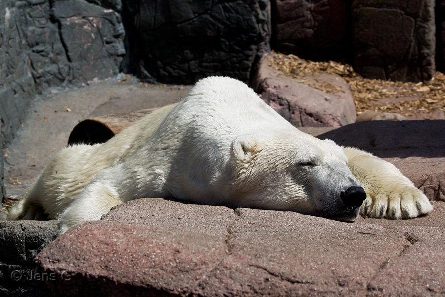 Isbjørn der flader ud