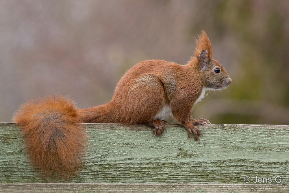 Egern på plankeværk