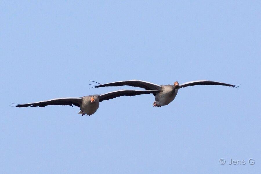 To flyvende grågæs