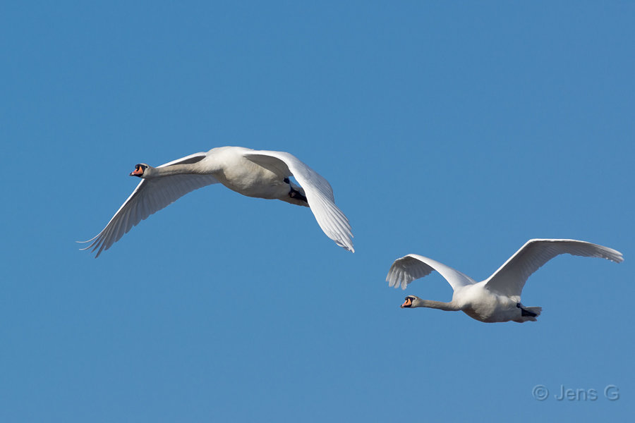To flyvende knopsvaner