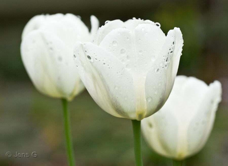 Hvide tulipaner efter regn