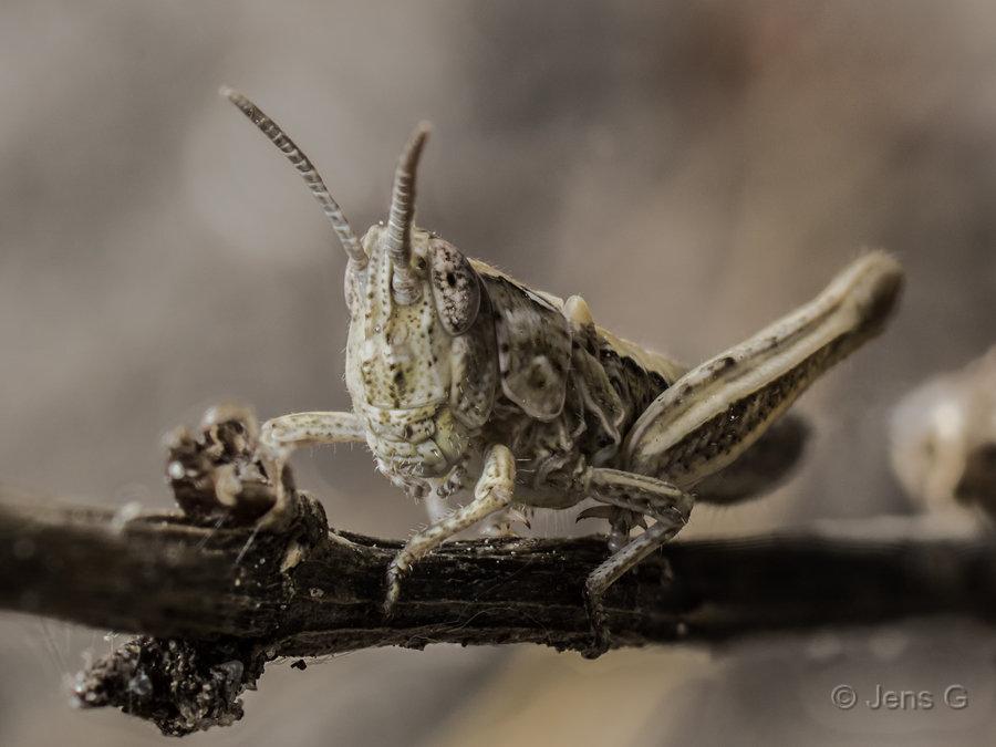 Græshoppe på en pind