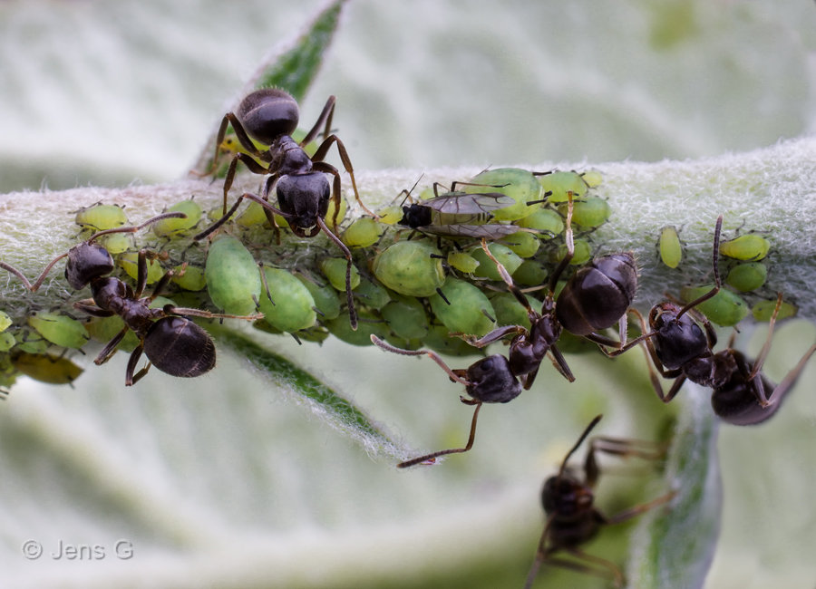 Myrer der passer bladlus