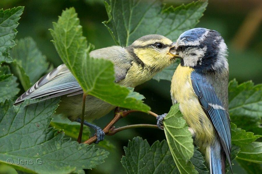 Blåmejseunge der fodres af en forælder