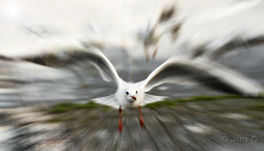 Måge med zoom blur