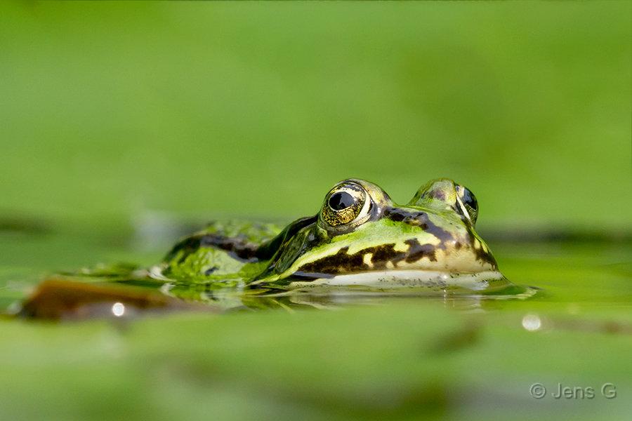 Grøn frø i vandet