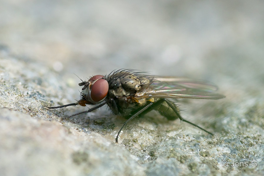 Flue på en sten