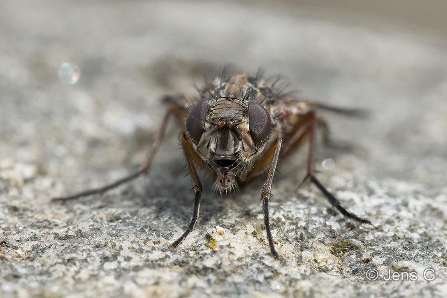 Portræt af flue på en sten