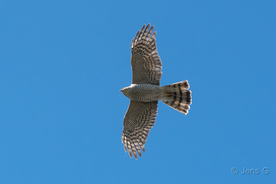 Flyvende spurvehøg