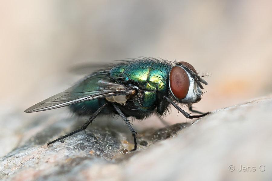 Grøn flue på en sten