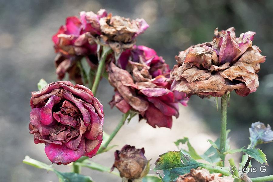 Visne roser