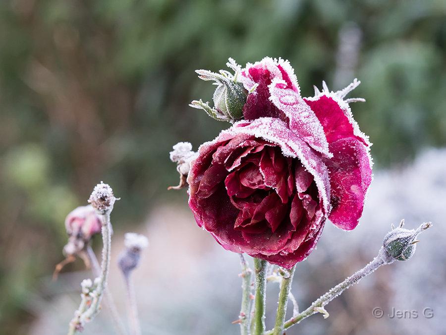 Frossen rød rose