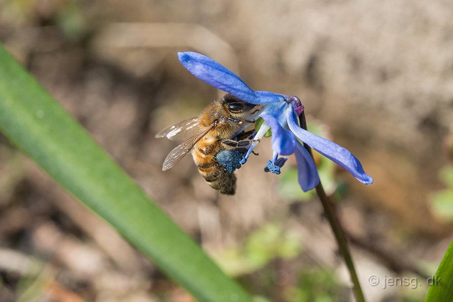 Honningbi i en russisk skilla blomst