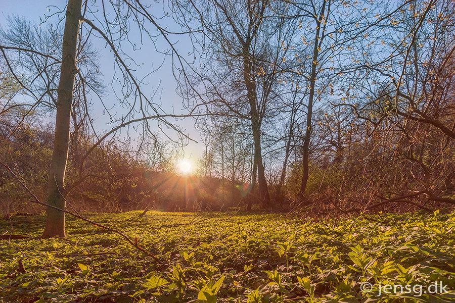 Et stykke med skvalderkål i skoven