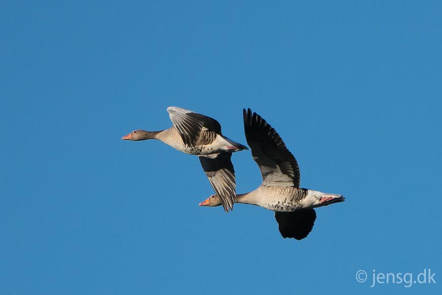 Et par flyvende grågæs