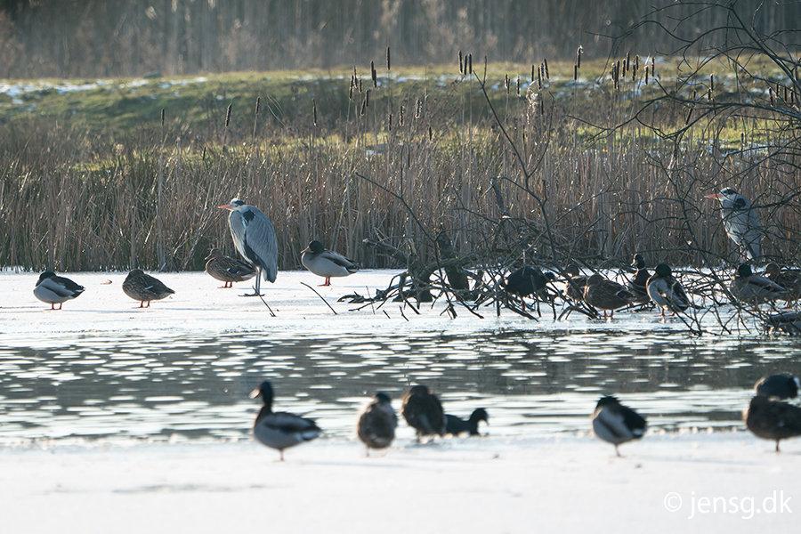 Fugle på frossen sø
