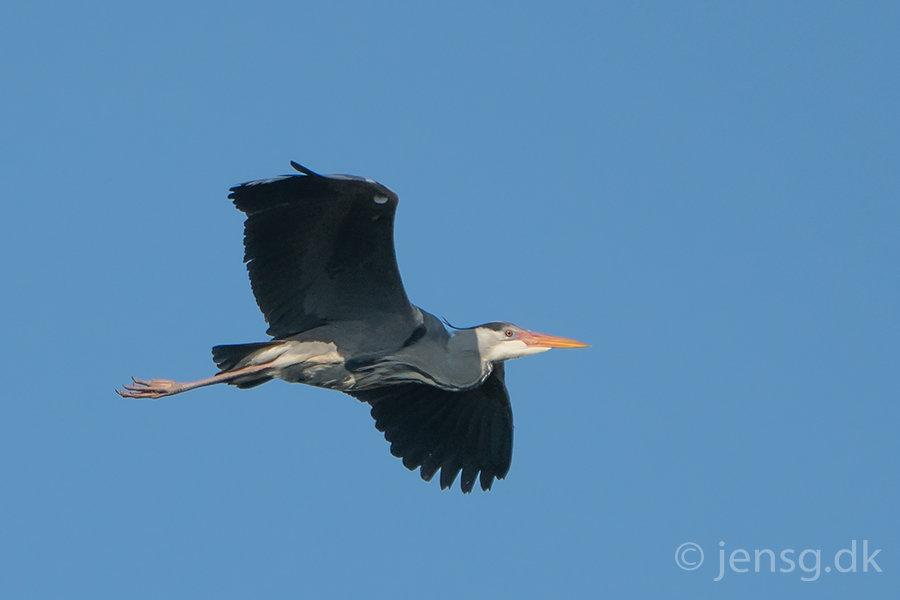 Flyvende fiskehejre