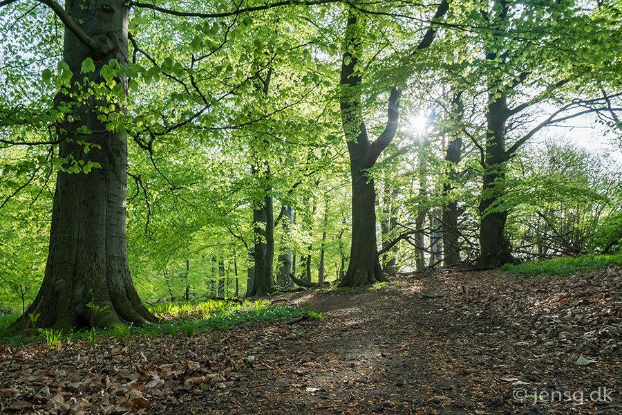 Forårsskoven i modlys