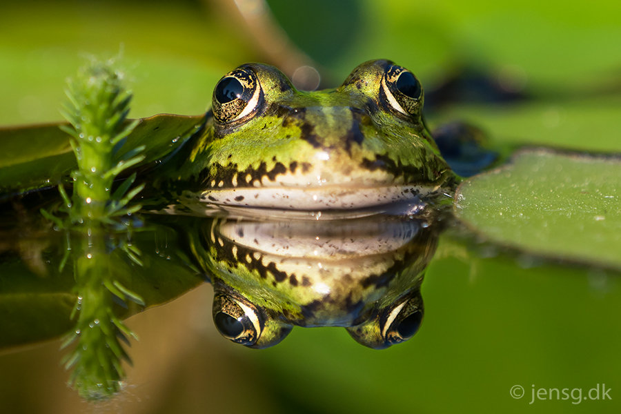 Grøn frø med spejlbillede