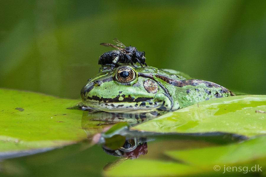 Grøn frø med våd humlebi på hovedet