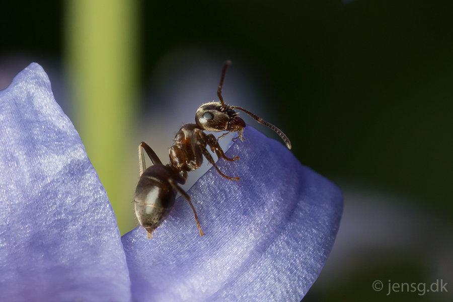 Myre på violet blomst