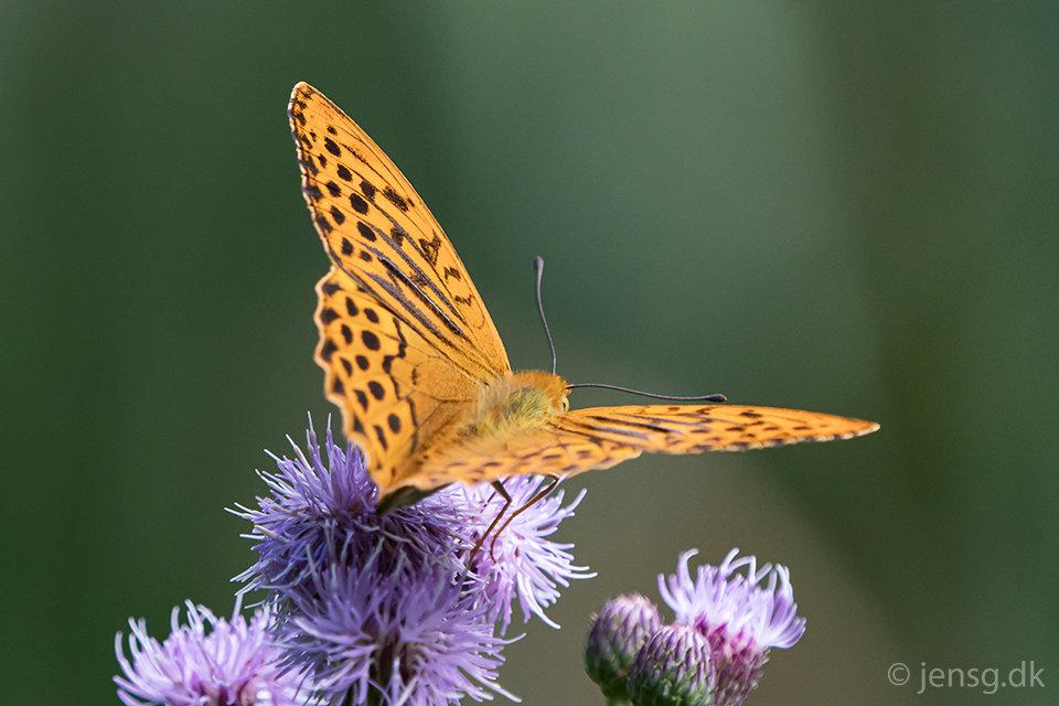 Kejserkåbe sommerfugl