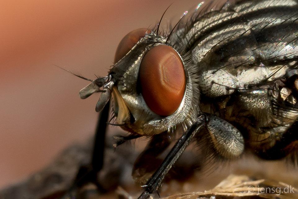 Nærbillede af en kødflue