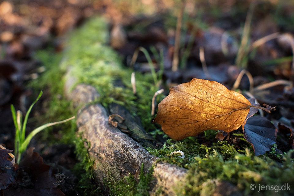 Bøgeblad i skovbunden