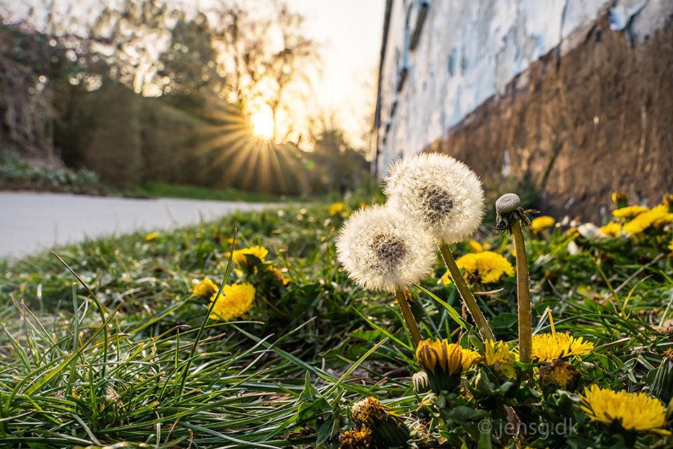 Mælkebøtter med blomster og frø med solnedgang i baggrunden