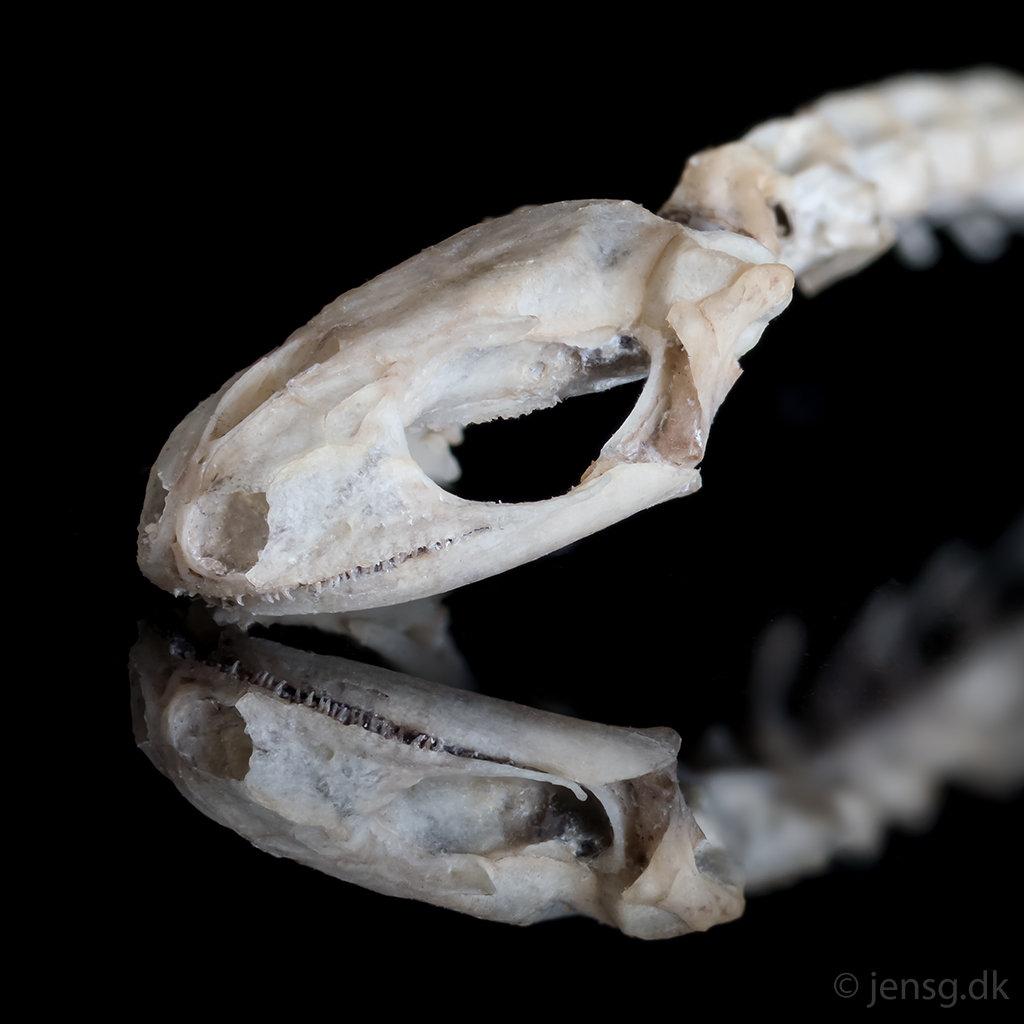 Kraniet af lille vandsalamander