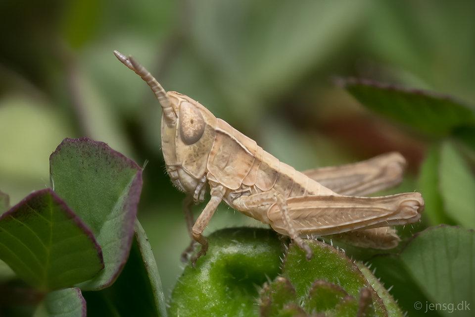 Lille græshoppe