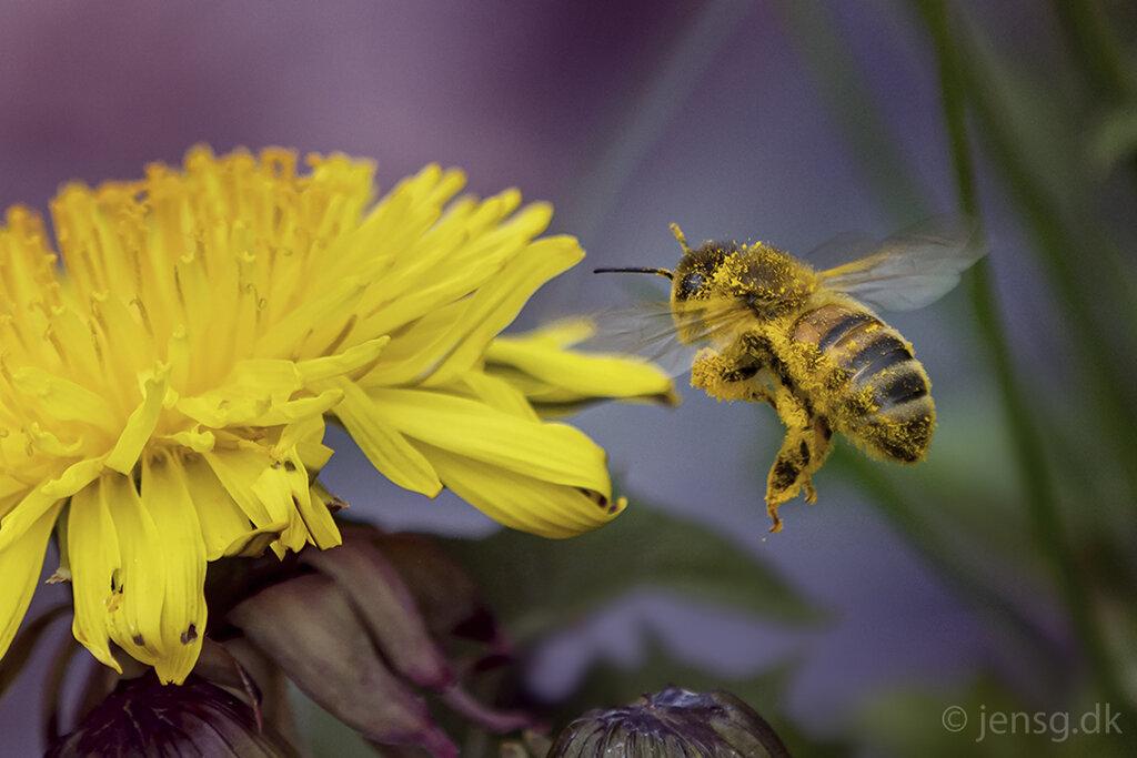 Honningbi på vej til mælkebøtteblomst