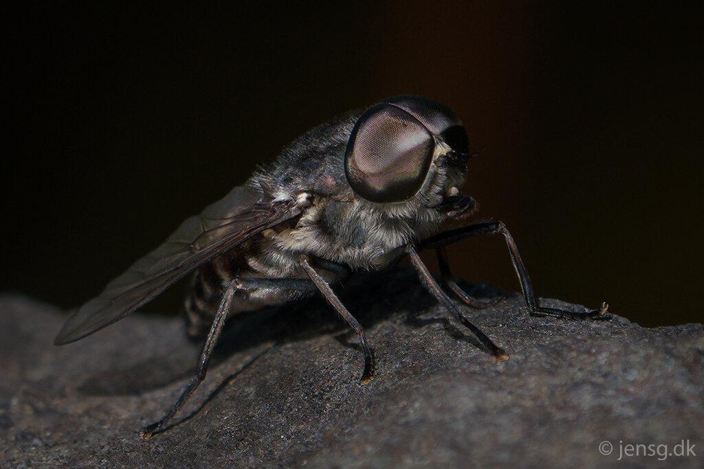 Stor flue